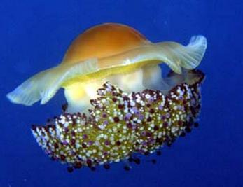 Les meduses